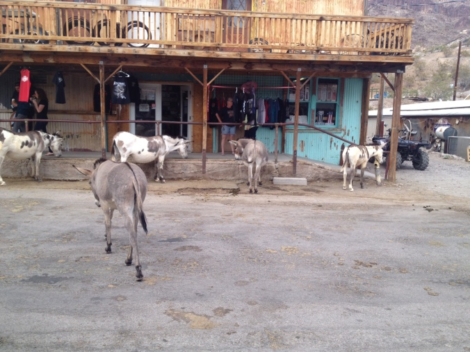 Burros in Oatman