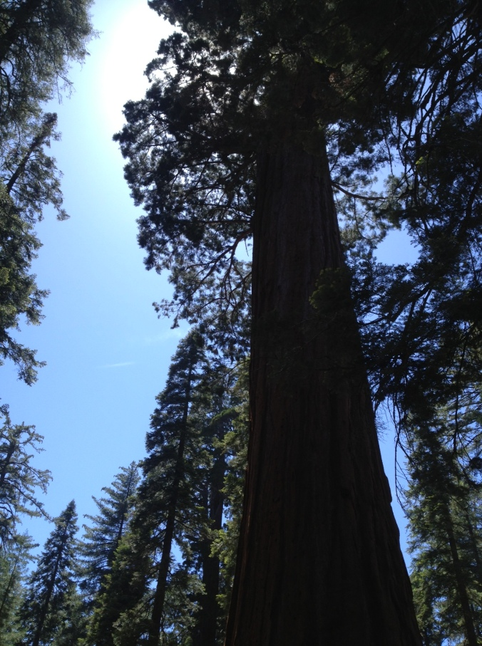 Giant Sequoia tree in Kings Canyon National Park